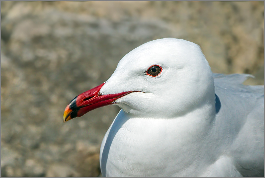 Audouin's Gull (Larus audouinii), Mallorca, May 2014