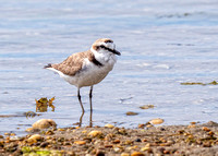 Kentish Plover - Charadrius alexandrinus, Algarve, Portugal, May 2019