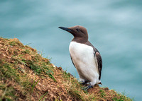 Common Guillemot - Uria aalge, Yorkshire, June 2019