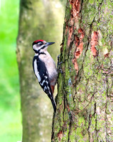 Great Spotted Woodpecker Juvenile - Dendrocopos major, Warwickshire, July 2019