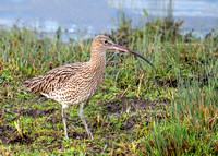Eurasian Curlew - Numenius arquata, Upton Warren, January 2020