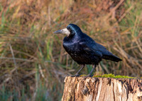 Rook - Corvus frugilegus, Slimbridge WWT, January 2020