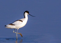 Pied Avocet - Recurvirostra avosetta, Upton Warren, March 2020