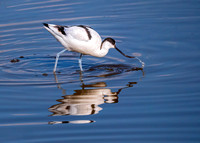 Pied Avocet - Recurvirostra avosetta, Upton Warren Flashes, March 2020
