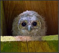 Tawny Owlet, Worcestershire,  May 2012
