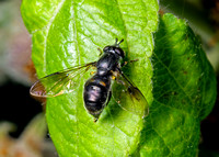 Pipiza noctiluca Hoverfly