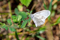 Wood White - Leptidea sinapis, Monkwood, June 2020