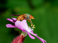 Grey-backed Snout-Hoverfly