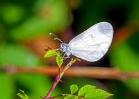Wood White - Leptidea sinapis, Monkwood, July 2020