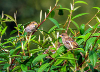 House Sparrows - Passer domesticus, Warwickshire, September 2020