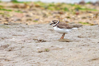 Common Ringed Plover - Charadrius hiaticula, Norfolk, September 2020