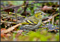 Siskin, Warwickshire, March 2011