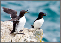 Guillemot and Razorbill (right), Anglesey, 12 May 2011