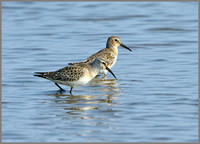 Dunlin (Calidris alpina), Norfolk September 2014 w