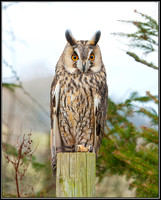 Long-eared Owl, Mid-Wales Falconry Centre, February 2009