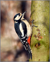 Female Great Spotted Woodpecker (Dendrocopos major), Warwickshire, January 2014