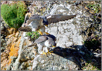 Peregrines Mating (Falco peregrinus), Anglesey, April 2014