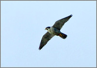 Male Peregrine (Falco peregrinus), Anglesey, April 2014