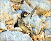 House Sparrows (Passer domesticus), Mallorca, May 2014