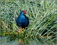 Purple Swamphen (Porphyrio porphyrio), Mallorca, May 2014