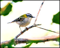 Firecrest, Mallorca, May 2010