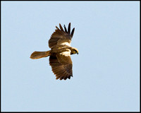 Marsh Harrier, Titchwell, April 2009