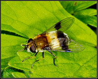 Blotch-winged Hoverfly
