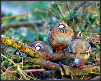 Red-legged Partridge, Warwickshire, January 2011