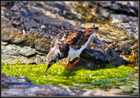 Turnstone, Anglesey, 06 July 2011