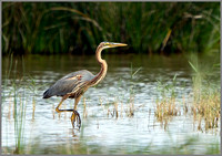 Purple Heron (Ardea purpurea), Mallorca, May 2014