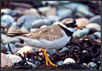 Ringed Plover, Anglesey 08 July l2011