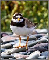 Ringed Plover, Anglesey, 08 July 2011