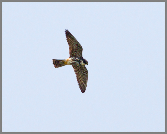 Hobby, Marsh Lane, June 2010
