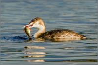Great Crested Grebe (Podiceps cristatus), Upton Warren NR, October 2016