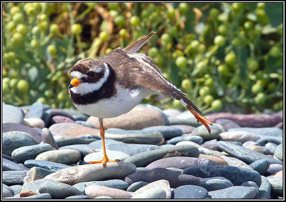 Ringed Plover, Anglesey_08 July 2011