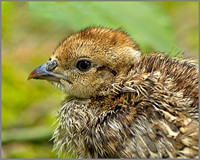 Red-legged Partridge Chick (Alectoris rufa), Warwickshire, July 2014
