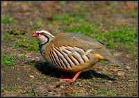 Red-legged Partridge, Warwickshire, 20 March 2012