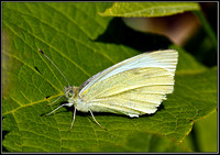 Large White, Bromsgrove, 28 August 2011
