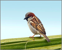 House Sparrow (Passer domesticus), Mallorca, May 2014