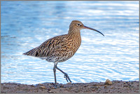 Eurasian Curlew (Numenius arquata), Upton Warren NR, September 2016