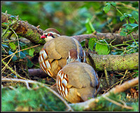 Red-legged Partridge, Warwickshire, November 2010