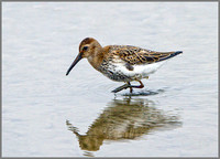 Dunlin (Calidris alpina), Norfolk September 2014