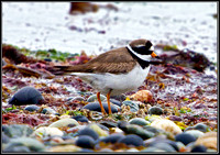 Ringed Plover, Anglesey, May 2011