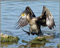 Juvenile Cormorant (Phalacrocorax carbo), Upton Warren NR, July 2014