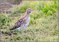 Eurasian Curlew (Numenius arquata), Upton Warren NR, August 2016