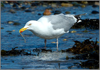 Herring Gull (Larus argentatus), Anglesey, April 2014