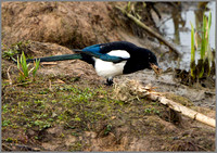 Magpie (Pica pica), Upton Warren, March 2014