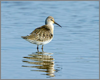 Juvenile Curlew Sandpiper (Calidris ferruginea), Norfolk September 2014