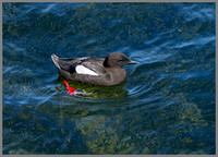 Black Guillemot, Anglesey, 10 May 2011
