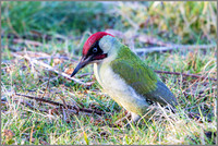 Green Woodpecker (Picus viridis).
